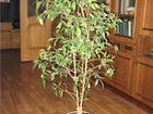 Фикус в домашних условиях почему опадают листья 411
