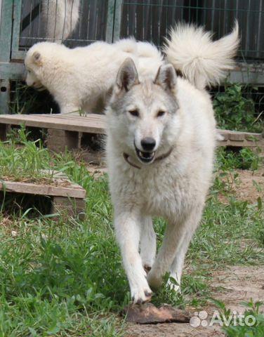 Бультерьер купить щенка в москве цена питомник