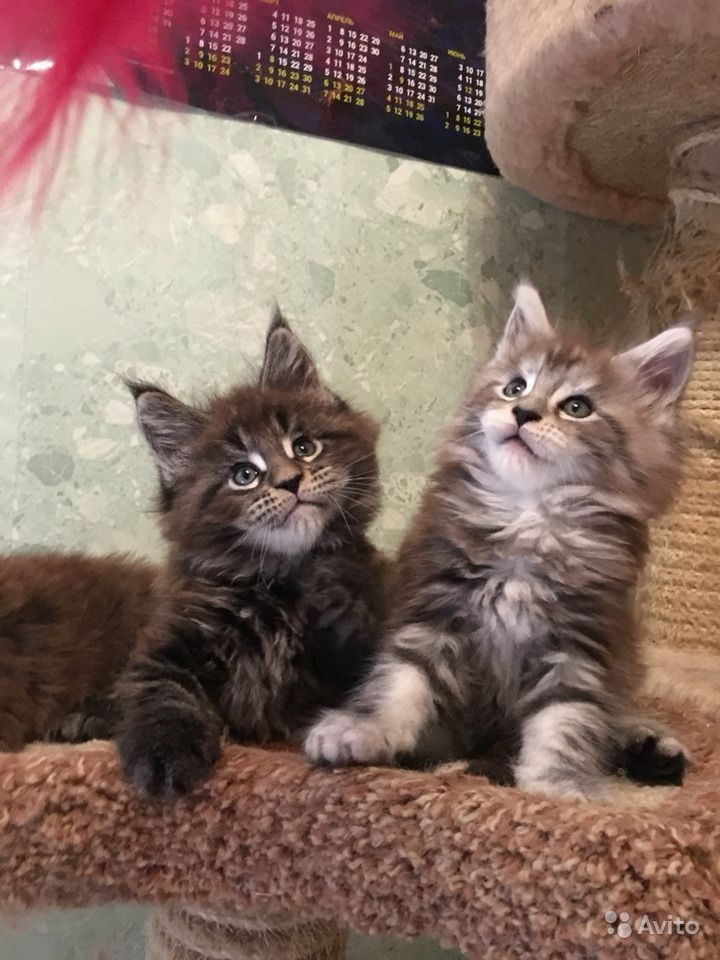 Самые лучшие. Крупные котята Мейн кун в Люберцах - фотография № 9