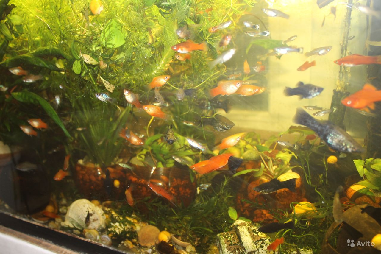 Рыбки мирные и цихлиды