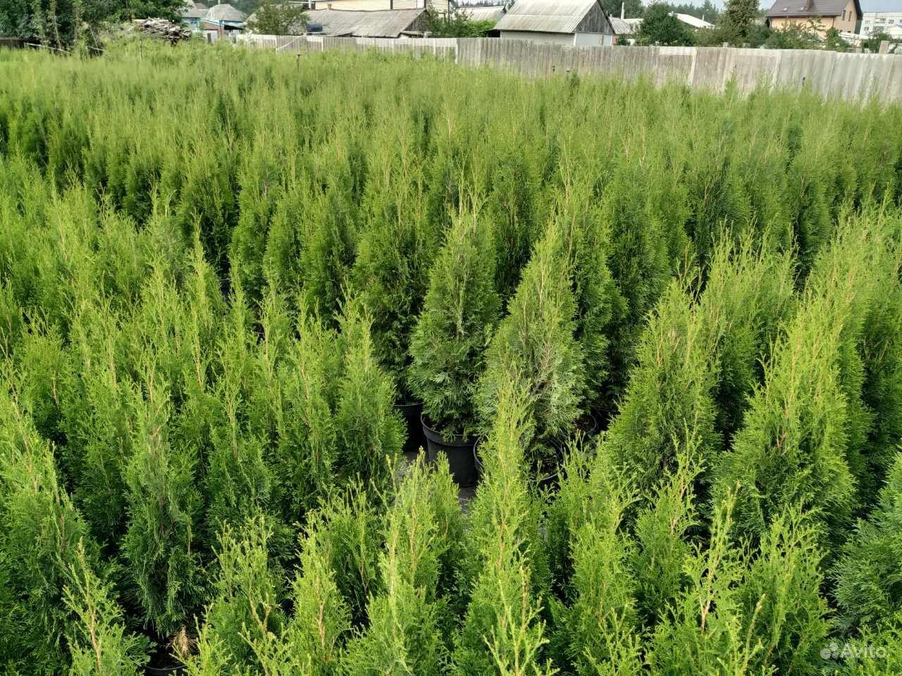 Хвойные растения,Туя (туи,ель,можжевельник) купить на Зозу.ру - фотография № 1