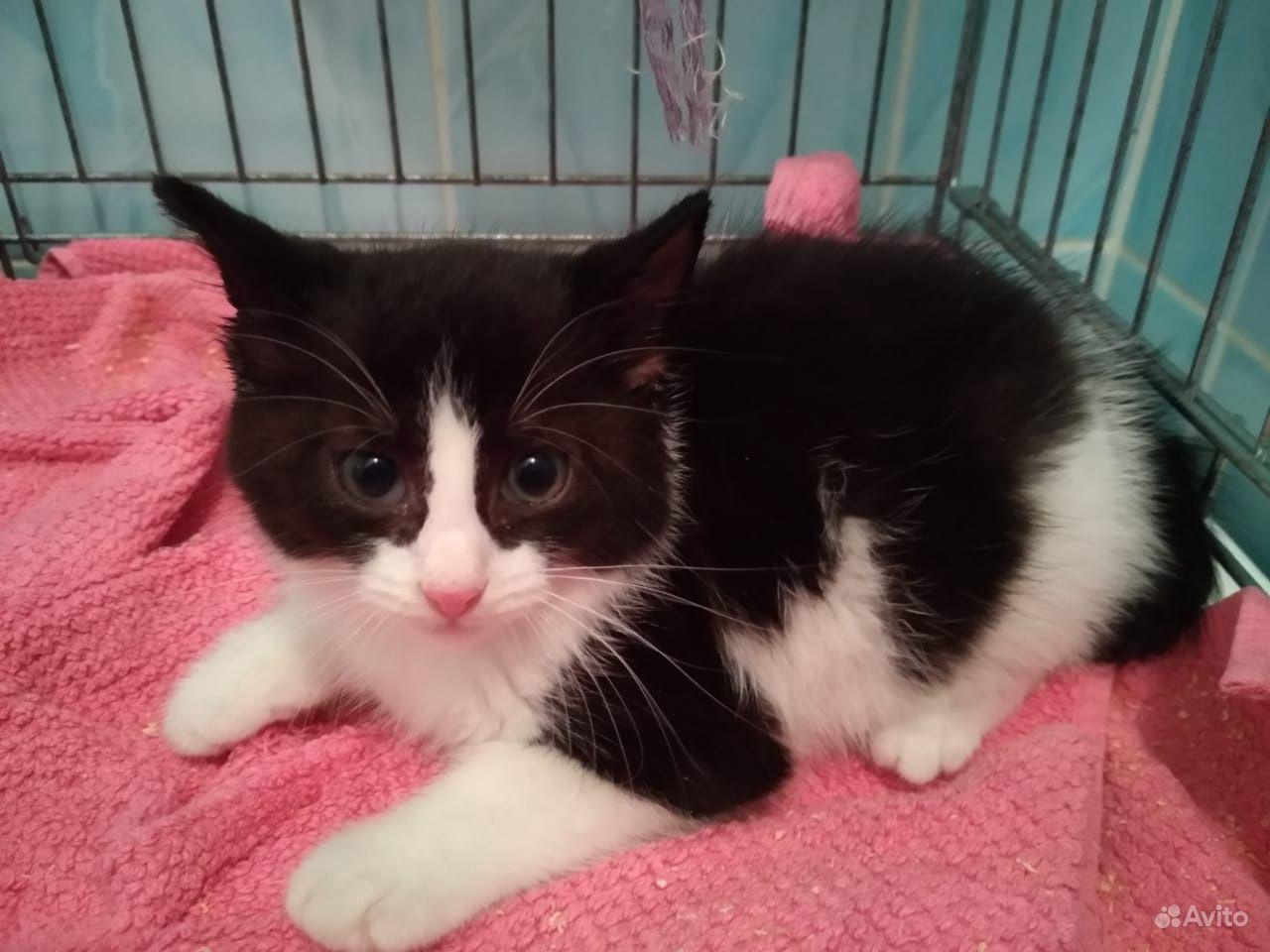 Котята черно-белые и трехцветка 2мес - фотография № 1
