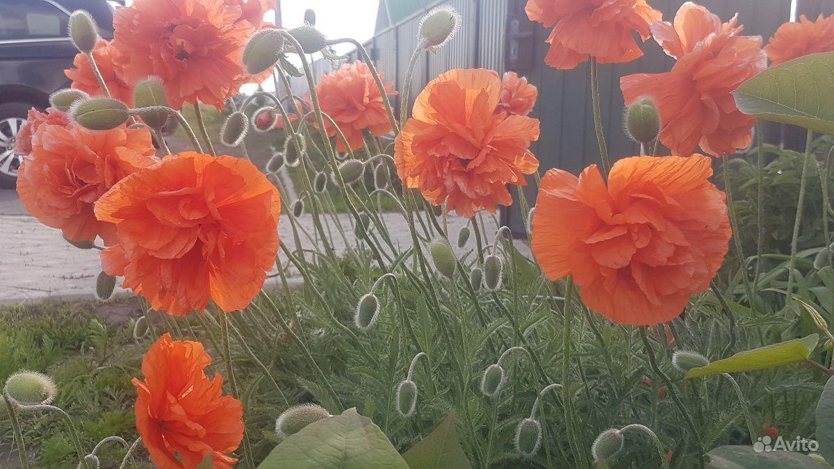 Мак восточный махровый оранжевый сортовой многолет купить на Зозу.ру - фотография № 1