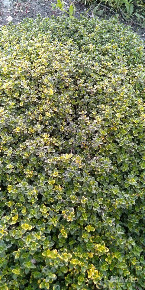 Садовые растения(многолетники) купить на Зозу.ру - фотография № 4