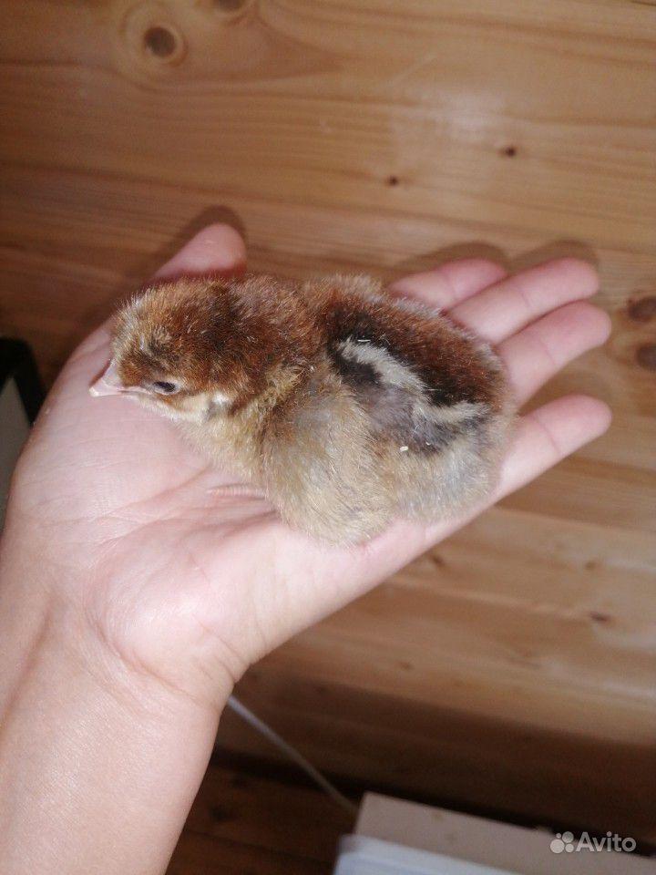 Цыплята купить на Зозу.ру - фотография № 1