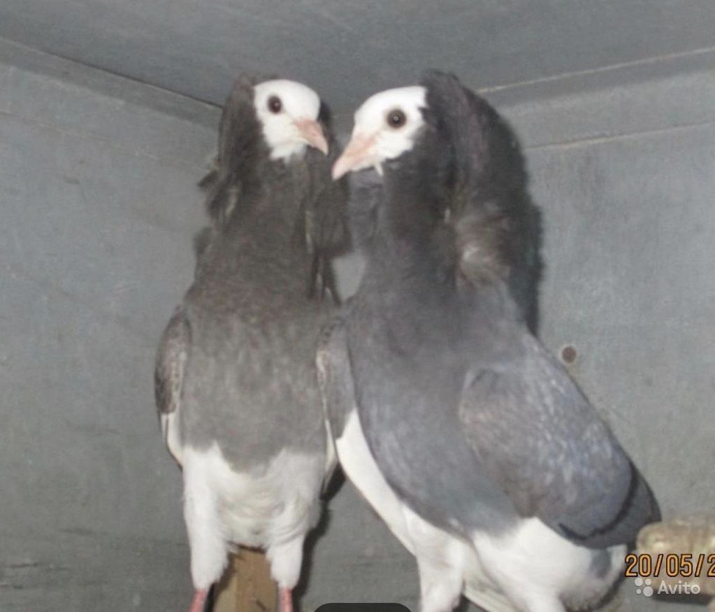 Голубь капуцини купить на Зозу.ру - фотография № 6