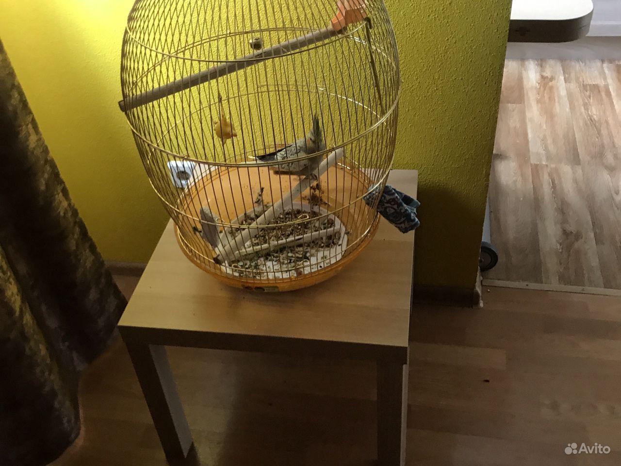 Попугай корелла купить на Зозу.ру - фотография № 4