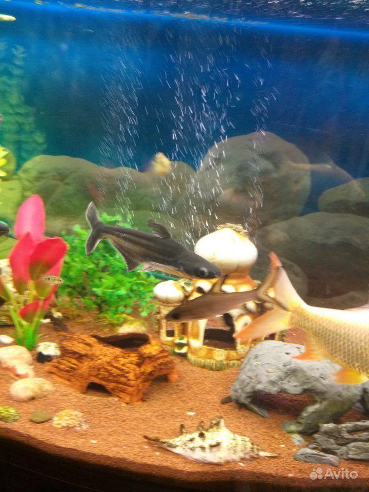Рыба пангасиус /акулий сом купить на Зозу.ру - фотография № 1