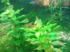 Аквариумное растение яванский мох и креветки неока