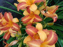 Цветы многолетние, садовые