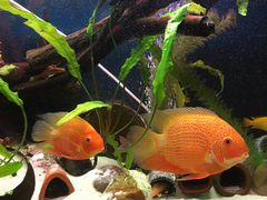 Рыбы северум красный жемчуг