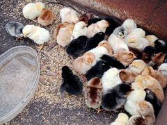 Продам цыплят