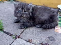 Котенок от британской кошки