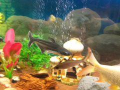 Рыба пангасиус /акулий сом
