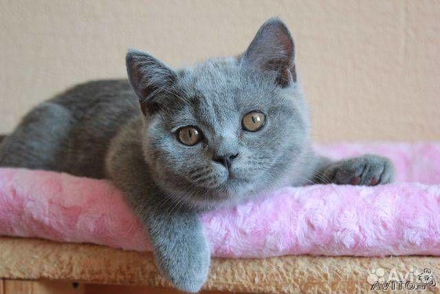 голубой британец котёнок фото