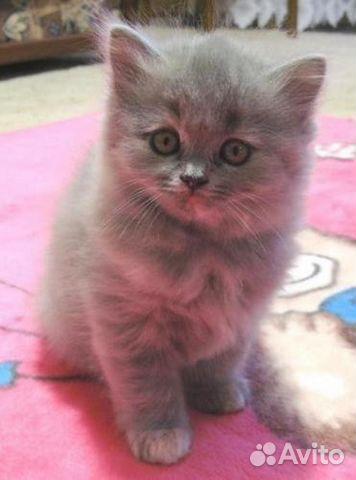 котята голубо-кремовые фото #7