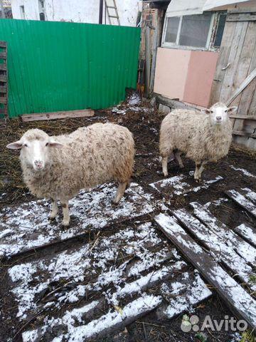 Козы овцы