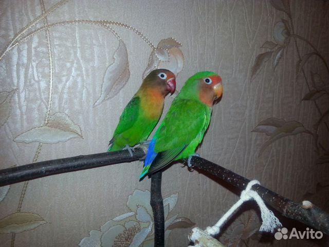 Parrots lovebird