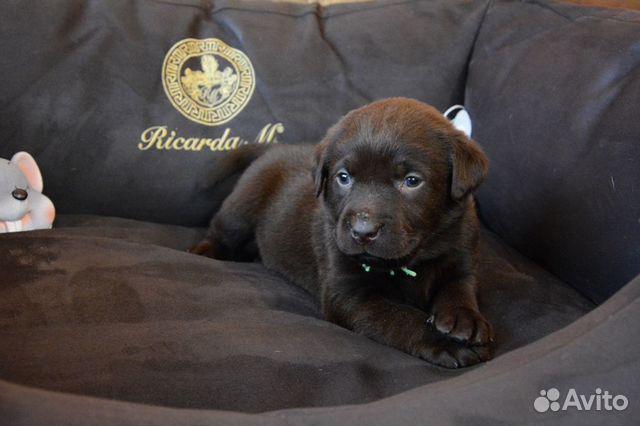 Плюшевые шоколадки, щенки Лабрадора купить на Зозу.ру - фотография № 7