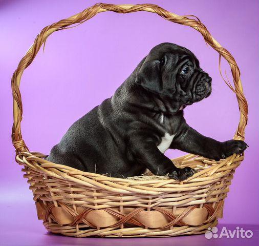 Американского Булли щенки купить на Зозу.ру - фотография № 6