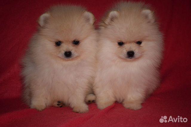 Очень красивые щенки померанского шпица купить на Зозу.ру - фотография № 7