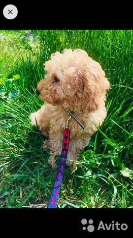Toy poodle 89521893030 buy 4