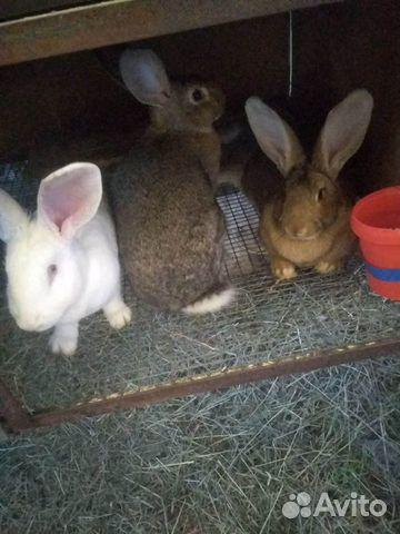 Кролики Серый и Белый Великаны купить 1