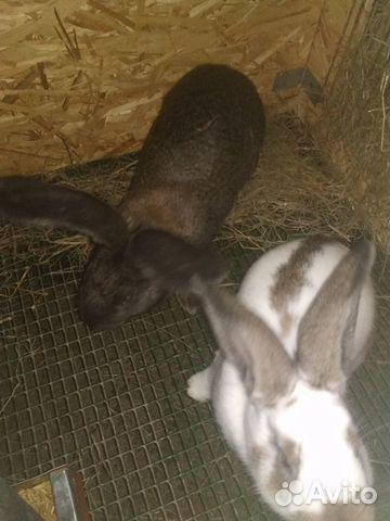 Кролики Серый и Белый Великаны купить 2