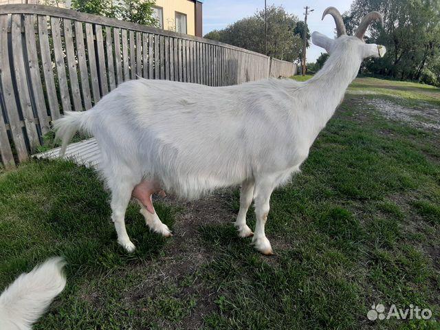 Коза молочная 89174305061 купить 4