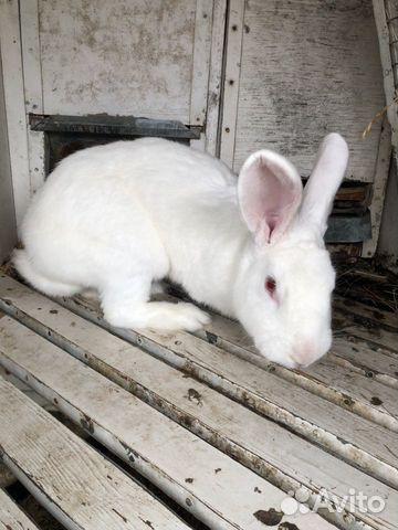 Rabbits 89037310001 buy 1