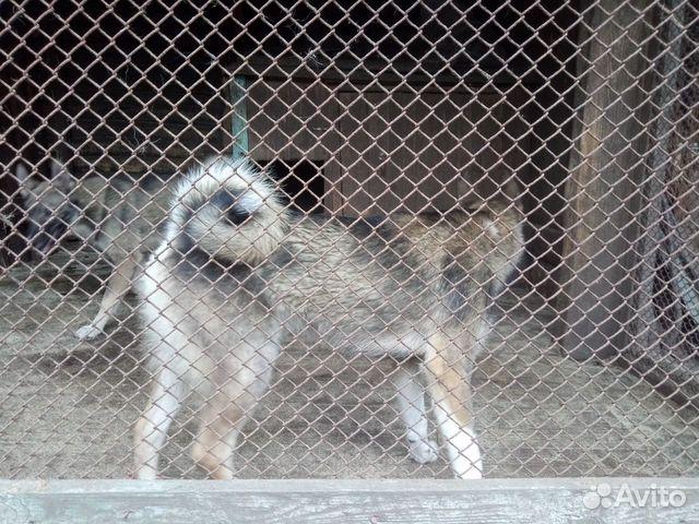 Продаются щенки западно сибирской лайки 89156783151 купить 2