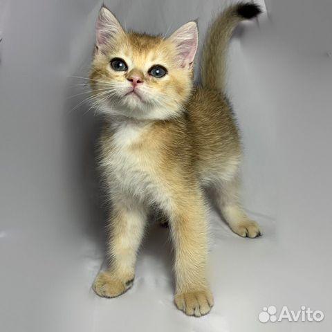 Кошка  89064224049 купить 3