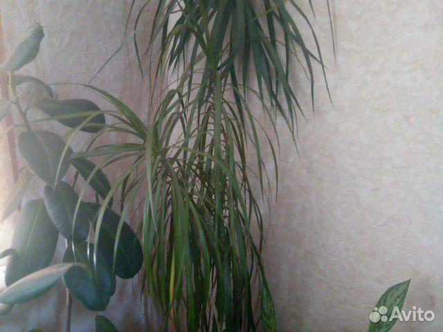 Домашние цветы  89050600151 купить 4