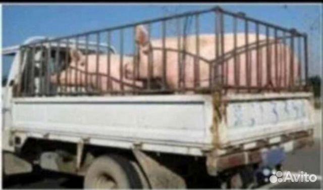Свиньи  89283151910 купить 1