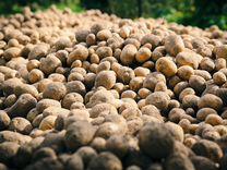 Картофель, капуста, др на корм животным