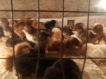 Цыплята доминант Усть-Караман