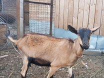 Семья чешских коз