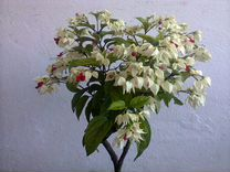 Продаю цветок «Клеродендрум»