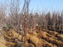 Взрослые плодовые деревья