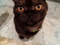 Вязка Шотландского кота