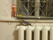 Попугай Корелла — Птицы в Геленджике