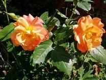 Кусты роз 2-3 летки