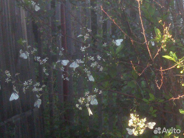 Саженцы вишни в грунте