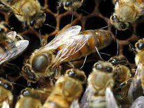 Матки пчелиные плодные