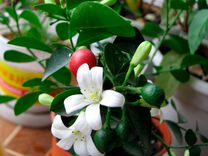 Продам саженцы Мураи уже цветут