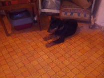 Найдена собака Ягдтерьер